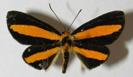 Image of Mesenopsis
