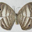 Image of Leucochimona