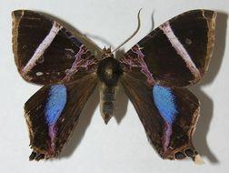 Image of Coronidia