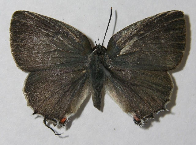 Image of Thereus