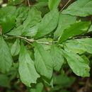 Sivun <i>Adelia triloba</i> (Müll. Arg.) Hemsl. kuva