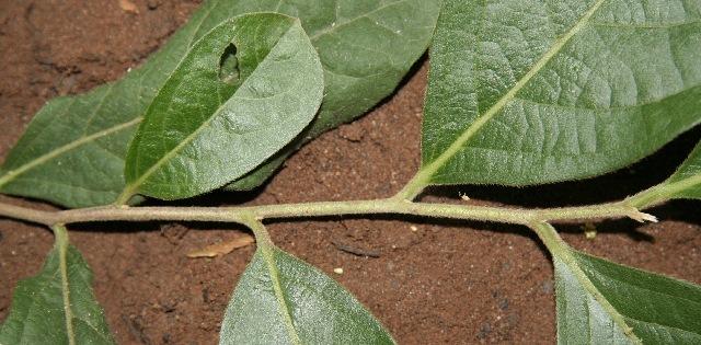 Image of <i>Diospyros salicifolia</i> Humb. & Bonpl. ex Willd.