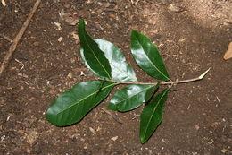 Image of <i>Sloanea terniflora</i> (Moc. & Sesse ex DC.) Standl.