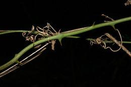 Image of <i>Smilax spinosa</i> Mill.