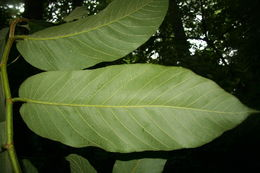 Image of Panama rubbertree