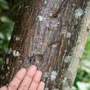 Image of silk cottontree