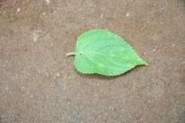 Image of lantana