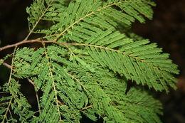 Image of <i>Lysiloma aurita</i> (Schltdl.) Benth.