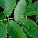 Image of stinkwood