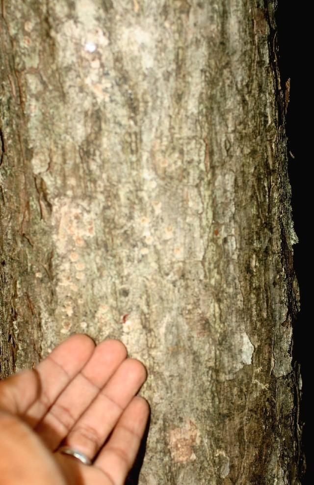 Image of <i>Tabebuia ochracea</i> A. H. Gentry