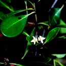 Image of Black Mangrove