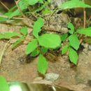 Image of <i>Thouinia serrata</i> Radlk.