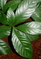 Image of <i>Randia armata</i> (Sw.) DC.