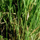 Image of Guineagrass