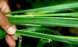 Image of <i>Panicum maximum</i> Jacq.