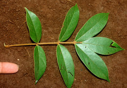 Image of <i>Cnestidium rufescens</i> Planch.