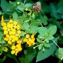 Image of <i>Gaudichaudia hexandra</i> (Nied.) Chod.