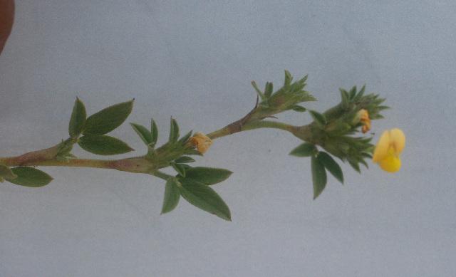 Image of pencilflower