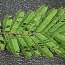 Image of Piptadenia