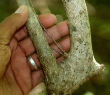 Image of <i>Hybanthus mexicanus</i> Ging. ex DC.