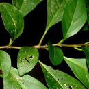 Image of <i>Solanum arboreum</i> Humb. & Bonpl. ex Dun.