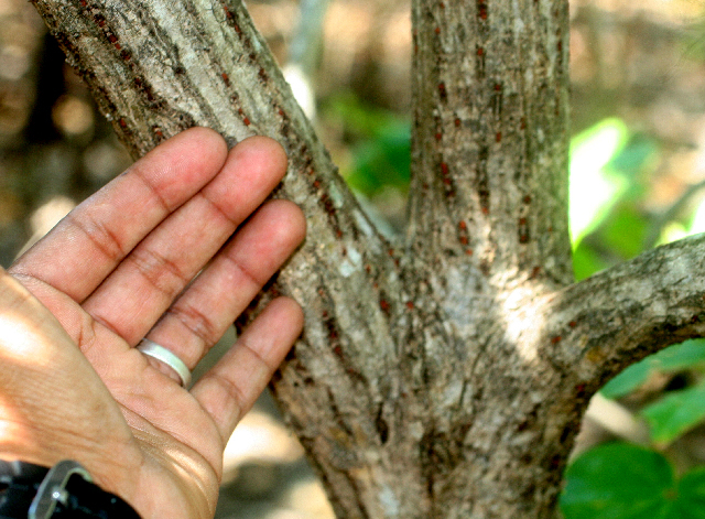 Image of seaside mahoe