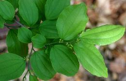 Image of <i>Ziziphus guatemalensis</i> Hemsl.