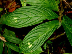 Image of <i>Columnea sanguinolenta</i> (Klotzsch ex Oerst.) Hanst.