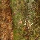 Image of <i>Morinda panamensis</i> Seem.