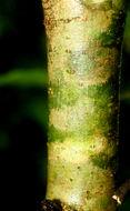 Image of <i>Coutarea hexandra</i> (Jacq.) K. Schum.