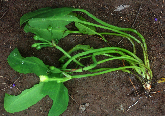 Image of water-plantain family