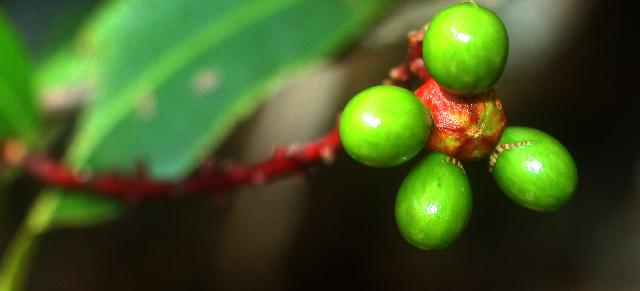 Image of <i>Ouratea lucens</i> (Kunth) Engl.