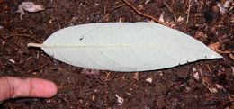 Image of <i>Styrax argenteus</i> Presl