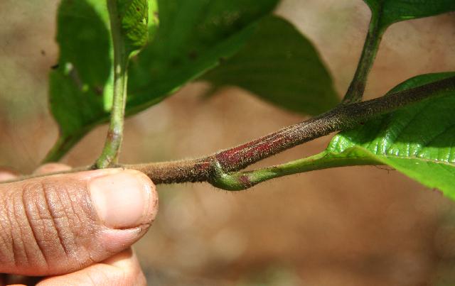 Image of <i>Tetracera volubilis</i> L.