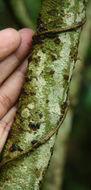 Image of Solanum