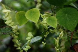 Image of <i>Cissampelos tropaeolifolia</i> DC.