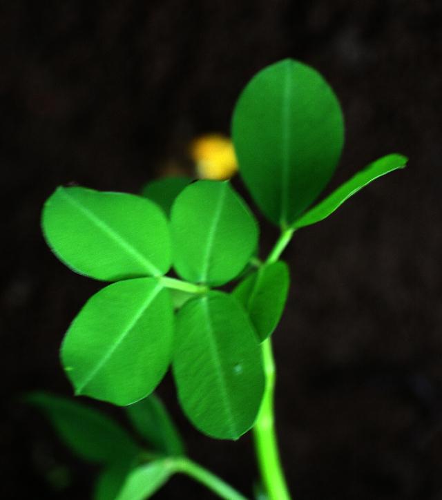 Image of pinto peanut
