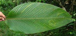 Image of <i>P<i>leiostachya</i></i> leiostachya (Donn. Sm.) Hammel