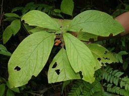 Image of <i>Besleria columneoides</i> Hanst.