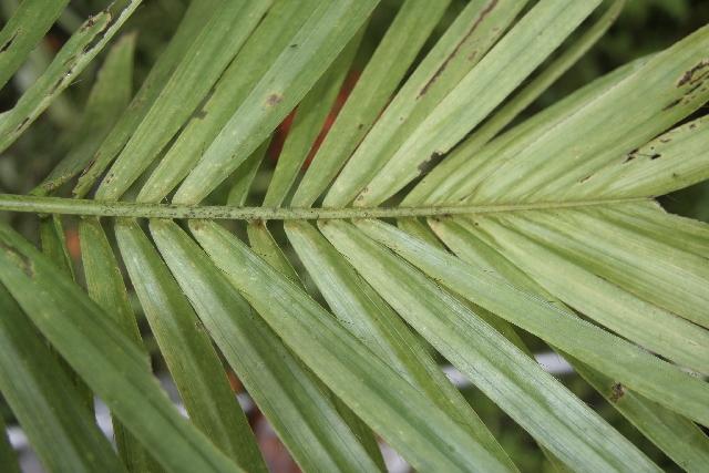 Image of peach palm