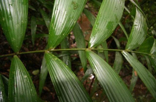 Image of Amargo Palm