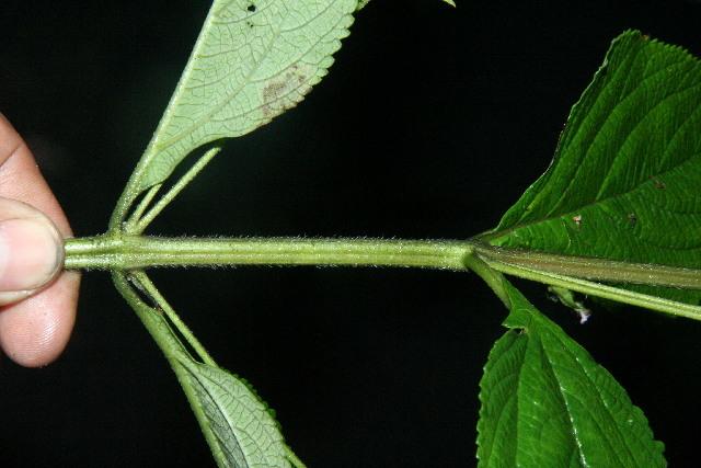 Image of threeleaf shrubverbena