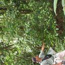 Image of <i>Psychotria elata</i> (Sw.) Hammel