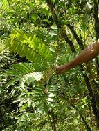 Image of <i>Simarouba amara</i> Aubl.