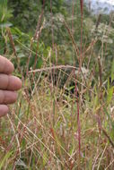 Image of stalkleaf murainagrass
