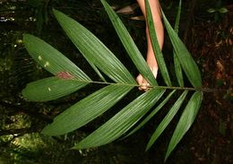 Image of <i>Calyptrogyne trichostachys</i> Burret