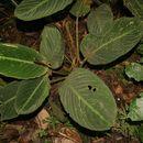 Image of <i>Calathea leucostachys</i> Hook. f.
