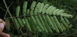 Image of <i>Vachellia tenuifolia</i>