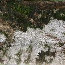 Image of <i>Luehea seemannii</i> Planch. & Triana