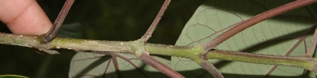 Image of gumhar